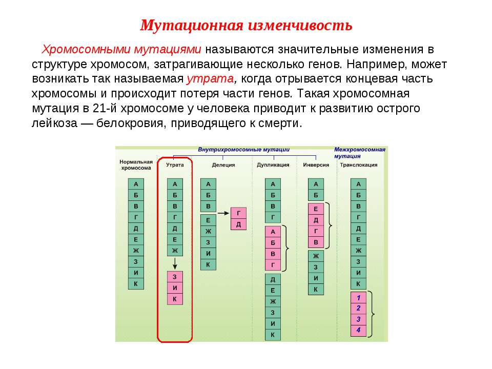 Хромосомными мутациями называются значительные изменения в структуре хромосом...