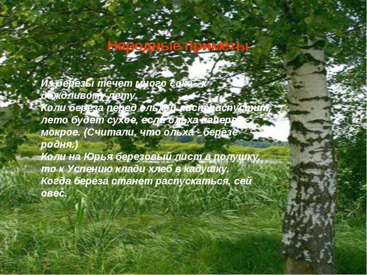 Народные приметы Из березы течет много сока - к дождливому лету. Коли береза ...