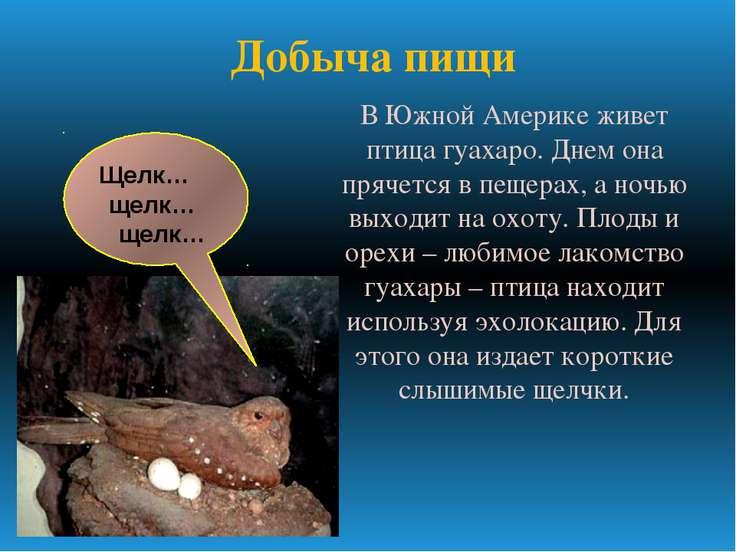 В Южной Америке живет птица гуахаро. Днем она прячется в пещерах, а ночью вых...
