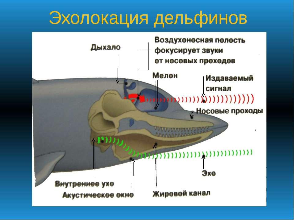Эхолокация дельфинов