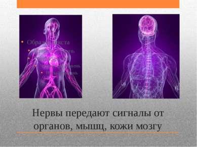 Нервы передают сигналы от органов, мышц, кожи мозгу