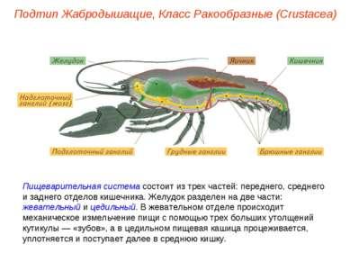 Пищеварительная система состоит из трех частей: переднего, среднего и заднего...