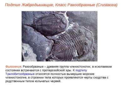 Подтип Жабродышащие, Класс Ракообразные (Crustacea) Филогения. Ракообразные –...