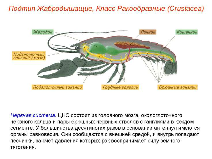 Нервная система. ЦНС состоит из головного мозга, окологлоточного нервного кол...
