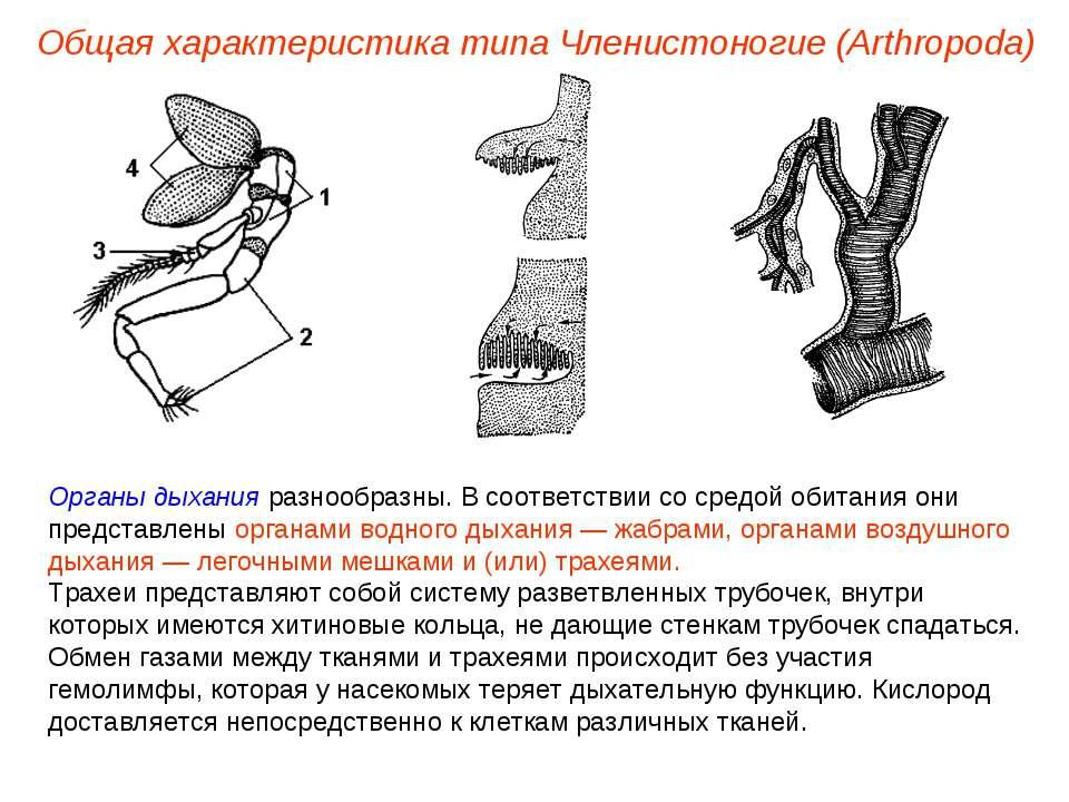 Общая характеристика типа Членистоногие (Arthropoda) Органы дыхания разнообра...