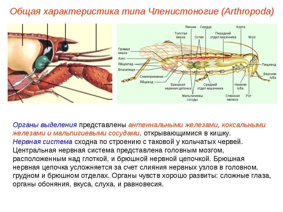 Органы выделения представлены антеннальными железами, коксальными железами и ...