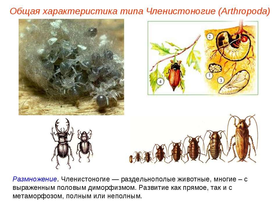 Размножение. Членистоногие — раздельнополые животные, многие – с выраженным п...
