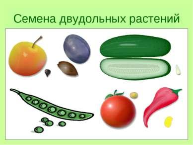 Семена двудольных растений