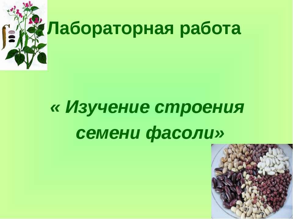 Лабораторная работа « Изучение строения семени фасоли»