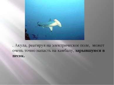 . Акула, реагируя на электрическое поле, может очень точно напасть на камбалу...