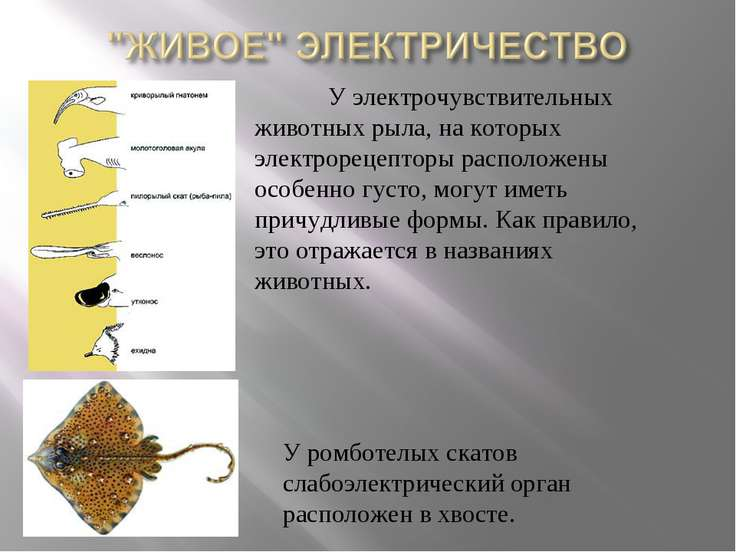 У электрочувствительных животных рыла, на которых электрорецепторы расположен...