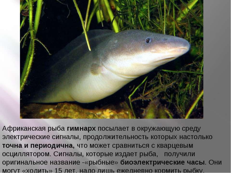 Африканская рыба гимнарх посылает в окружающую среду электрические сигналы, п...
