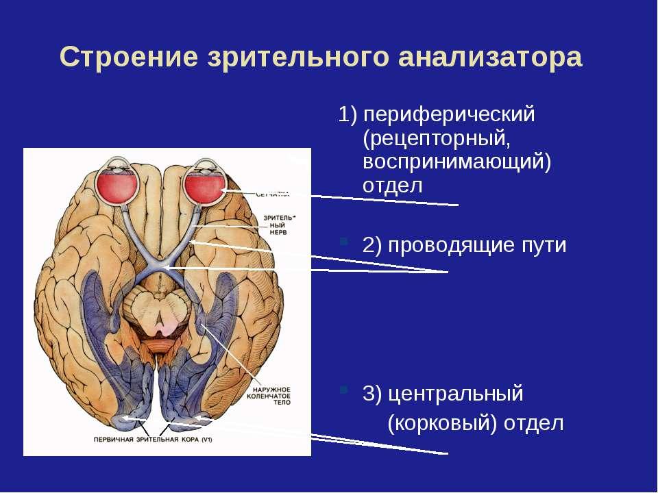 Строение зрительного анализатора 1) периферический (рецепторный, воспринимающ...
