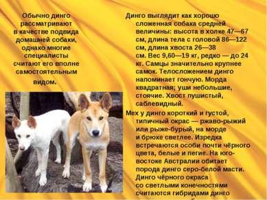 Обычно динго рассматривают вкачестве подвида домашней собаки, однако многие ...