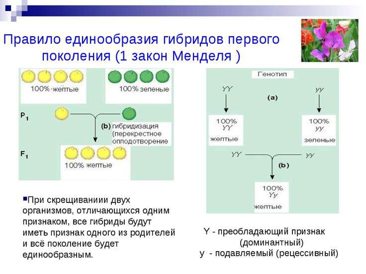 Правило единообразия гибридов первого поколения (1 закон Менделя ) Y - преобл...