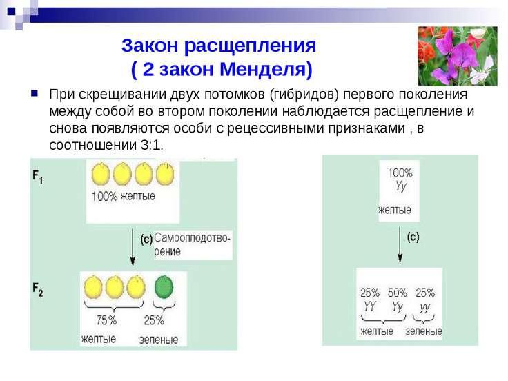 Закон расщепления ( 2 закон Менделя) При скрещивании двух потомков (гибридов)...