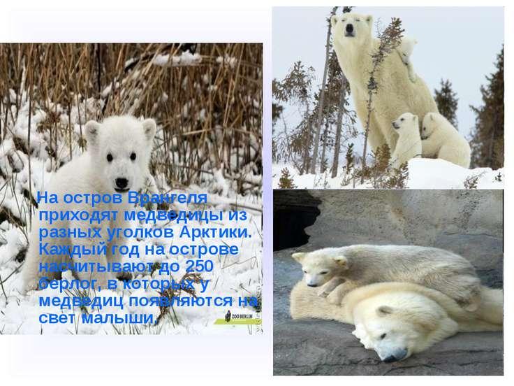 На остров Врангеля приходят медведицы из разных уголков Арктики. Каждый год н...
