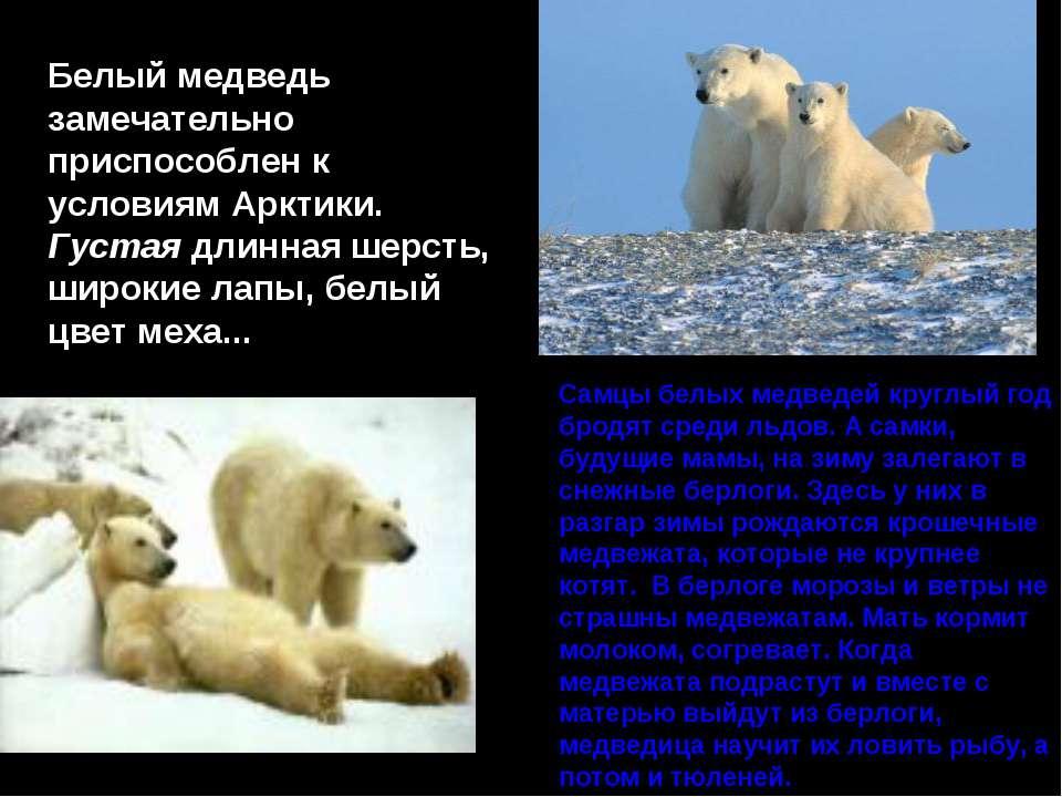 Самцы белых медведей круглый год бродят среди льдов. А самки, будущие мамы, н...