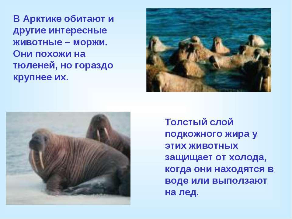 В Арктике обитают и другие интересные животные – моржи. Они похожи на тюленей...