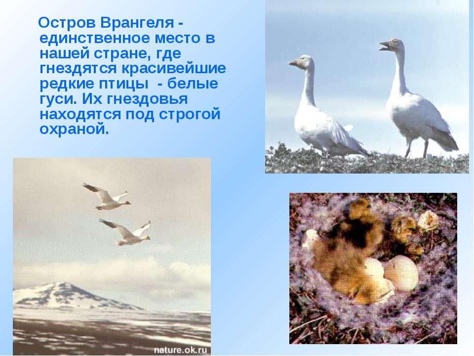 Остров Врангеля - единственное место в нашей стране, где гнездятся красивейши...