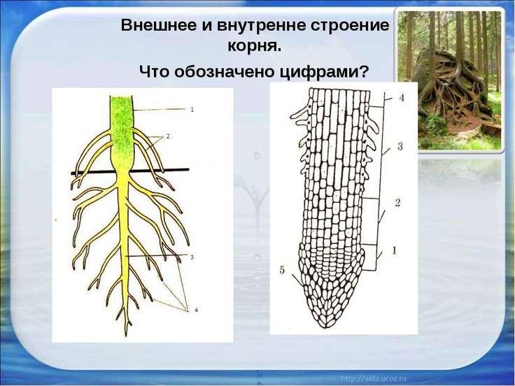 Внешнее и внутренне строение корня. Что обозначено цифрами?