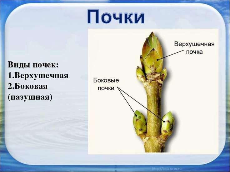 Виды почек: Верхушечная Боковая (пазушная)