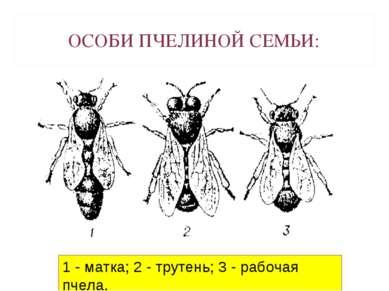 ОСОБИ ПЧЕЛИНОЙ СЕМЬИ: 1 - матка; 2 - трутень; 3 - рабочая пчела.