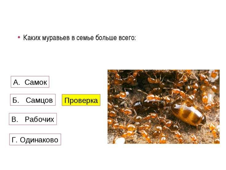 Каких муравьев в семье больше всего: А. Самок Б. Самцов В. Рабочих Проверка Г...