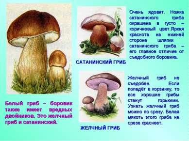 Белый гриб – боровик также имеет вредных двойников. Это желчный гриб и сатани...