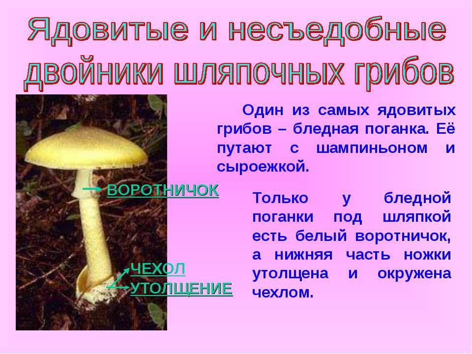 УТОЛЩЕНИЕ ВОРОТНИЧОК Один из самых ядовитых грибов – бледная поганка. Её пута...