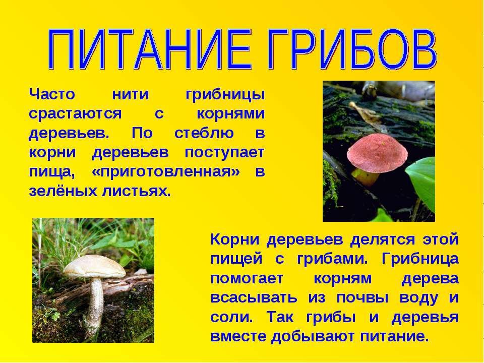 Часто нити грибницы срастаются с корнями деревьев. По стеблю в корни деревьев...