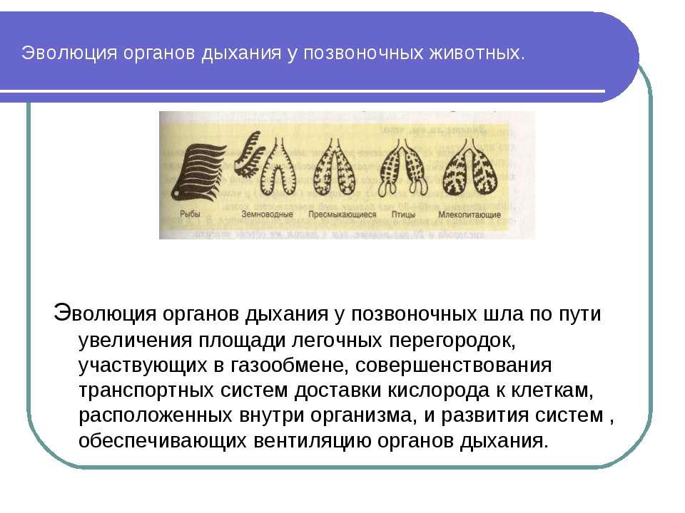 Эволюция органов дыхания у позвоночных животных. Эволюция органов дыхания у п...