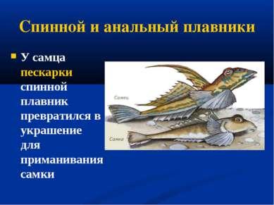 Спинной и анальный плавники У самца пескарки спинной плавник превратился в ук...