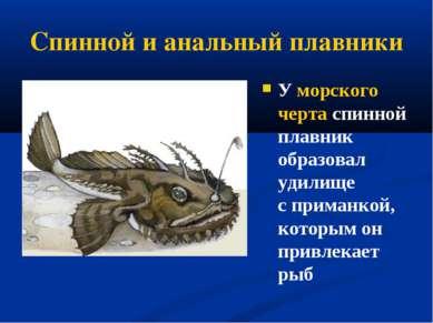 Спинной и анальный плавники У морского черта спинной плавник образовал удилищ...
