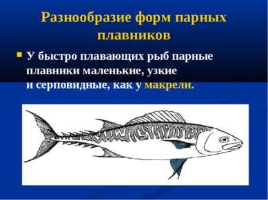 Разнообразие форм парных плавников У быстро плавающих рыб парные плавники мал...