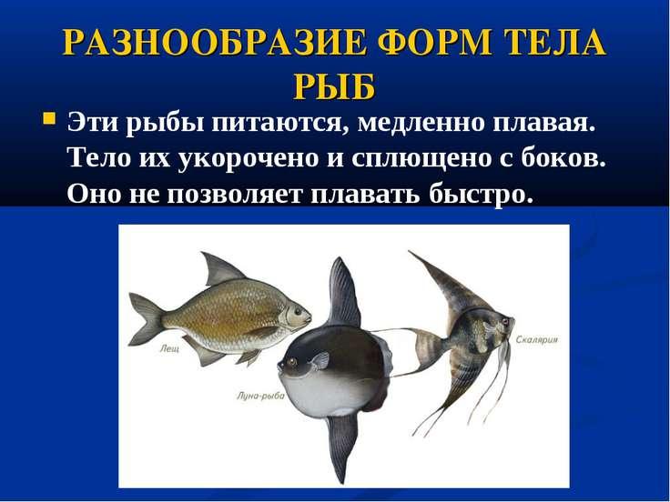 РАЗНООБРАЗИЕ ФОРМ ТЕЛА РЫБ Эти рыбы питаются, медленно плавая. Тело их укороч...