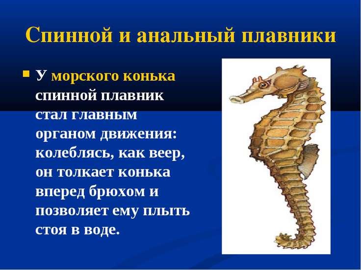 Спинной и анальный плавники У морского конька спинной плавник стал главным ор...
