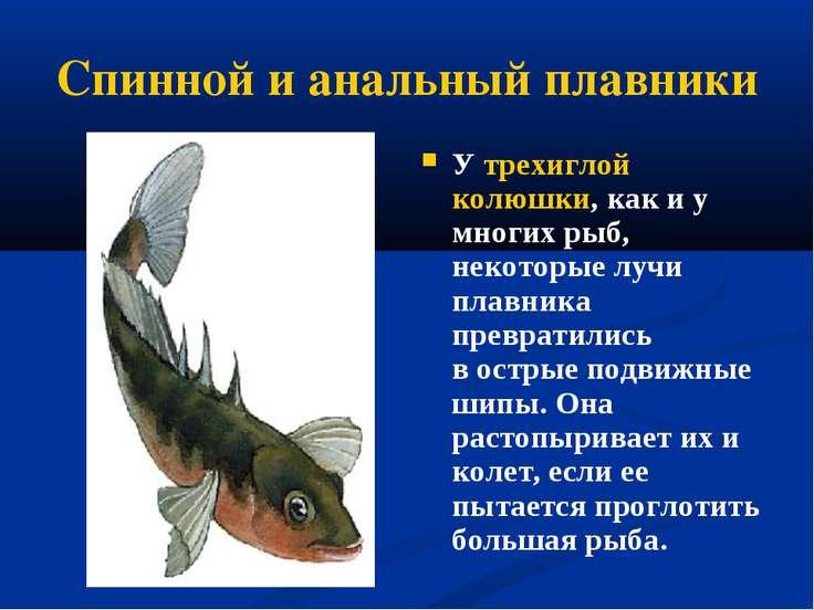 Спинной и анальный плавники У трехиглой колюшки, как и у многих рыб, некоторы...