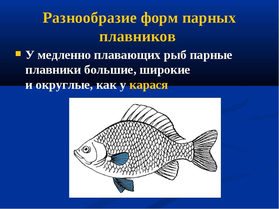 Разнообразие форм парных плавников У медленно плавающих рыб парные плавники б...