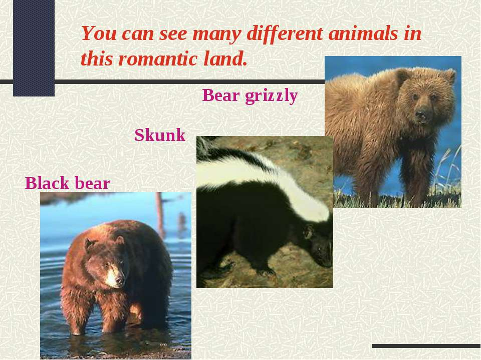 You can see many different animals in this romantic land. Bear grizzly Skunk ...