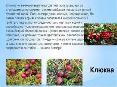 Клюква Клюква — вечнозеленый многолетний полукустарник со стелющимися ползучи...