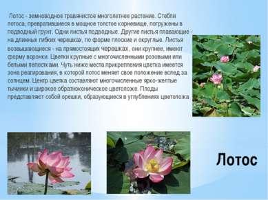 Лотос Лотос - земноводное травянистое многолетнее растение. Стебли лотоса, пр...