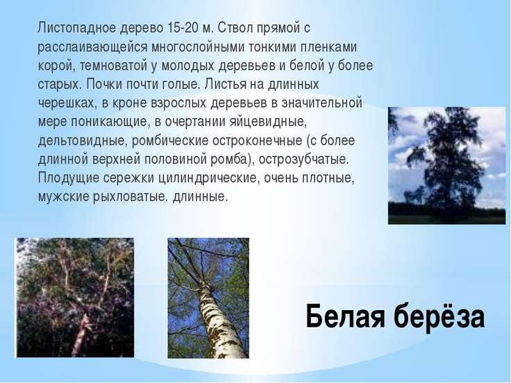 Белая берёза Листопадное дерево 15-20 м. Ствол прямой с расслаивающейся много...