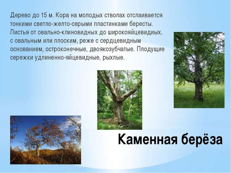 Каменная берёза Дерево до 15 м. Кора на молодых стволах отслаивается тонкими ...
