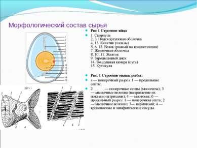 Морфологический состав сырья Рис 1 Строение яйца 1. Скорлупа 2, 3. Подскорлуп...