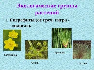 Экологические группы растений 3. Гигрофиты (от греч. гигра - «влага»).