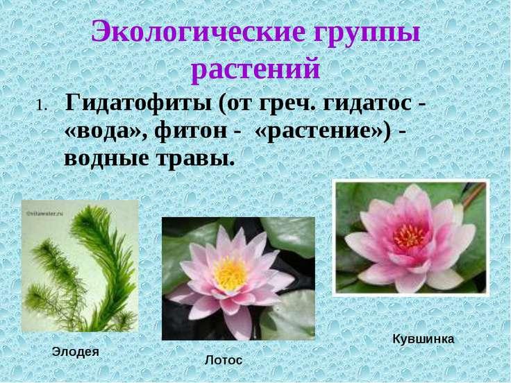 1. Гидатофиты (от греч. гидатос - «вода», фитон - «растение») - водные травы....