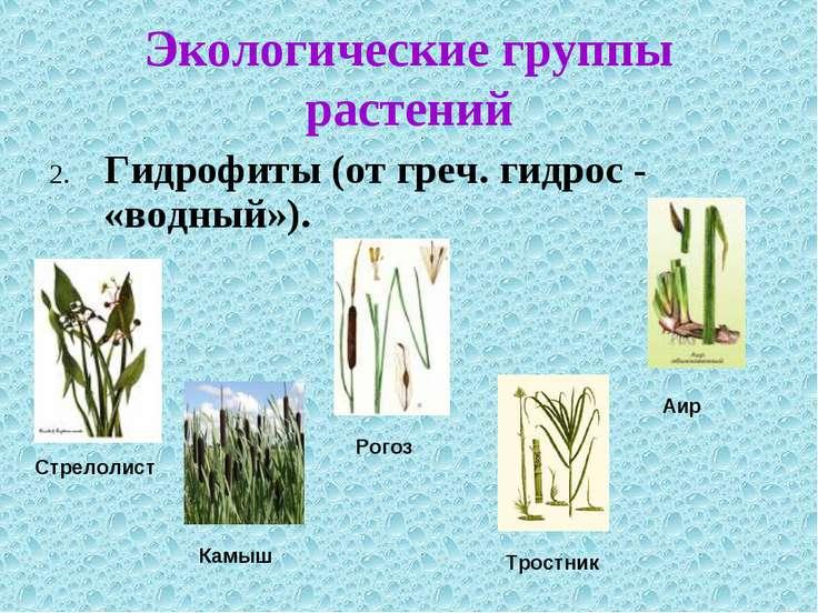 Экологические группы растений 2. Гидрофиты (от греч. гидрос - «водный»).