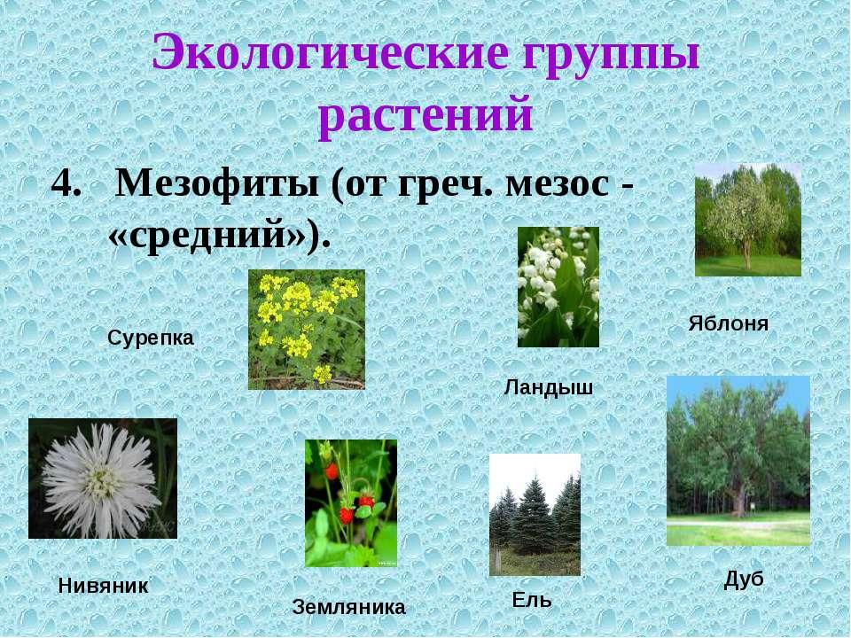 Экологические группы растений 4. Мезофиты (от греч. мезос - «средний»).
