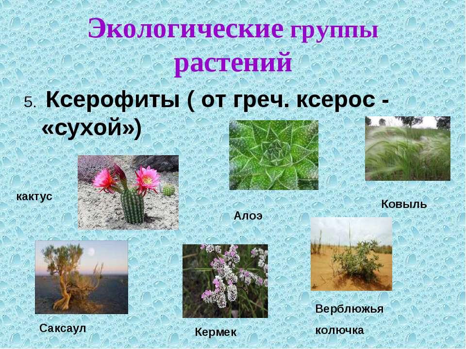 Экологические группы растений 5. Ксерофиты ( от греч. ксерос - «сухой»)